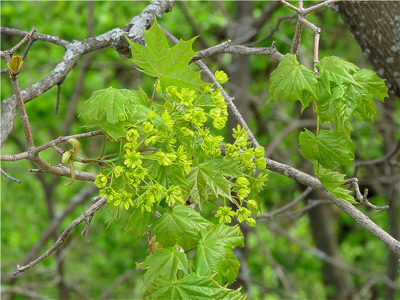 Ветвь с соцветием и молодыми листьями