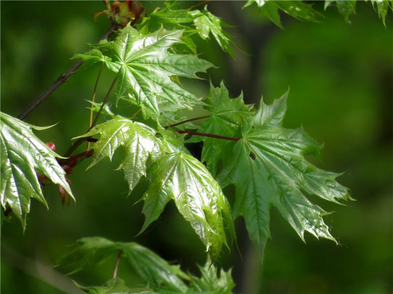 Молодые листья клёна остролистного
