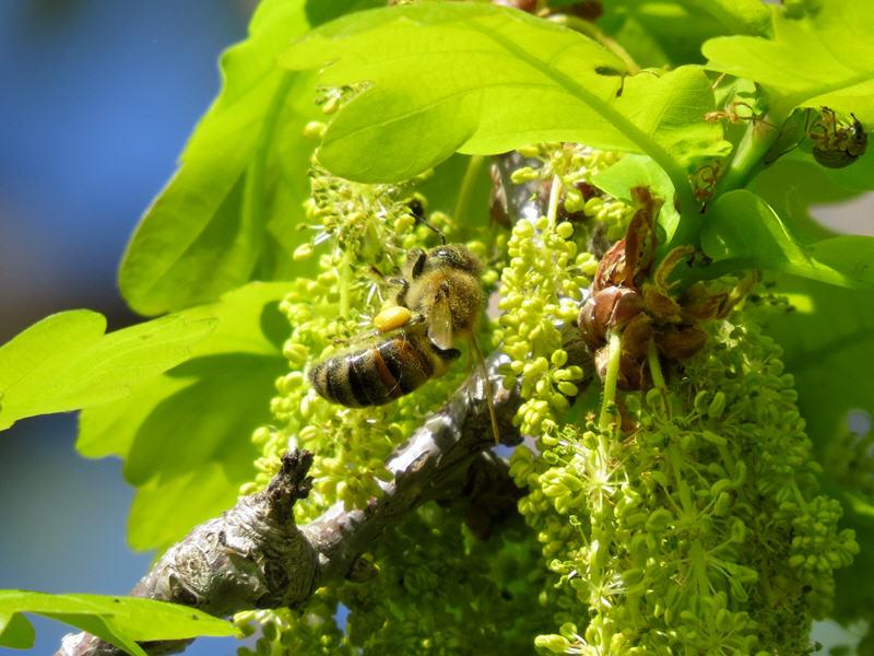 Пчела на цветках дуба черешчатого