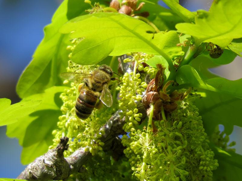 Пчела опыляет дуб черешчатый