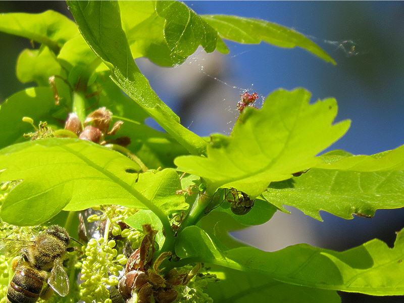 Женские цветки дуба и пчела