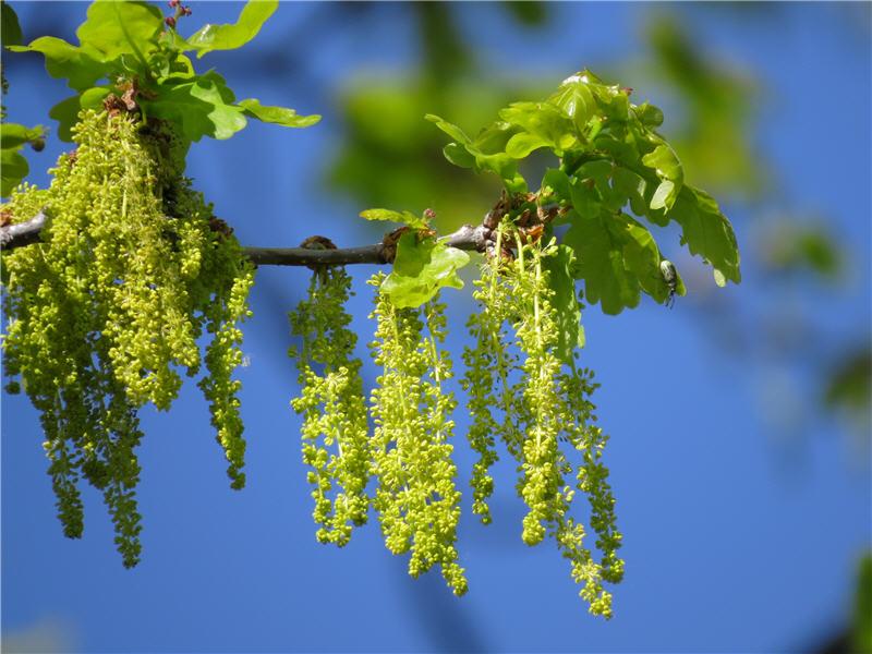 Мужские и женские цветки дуба