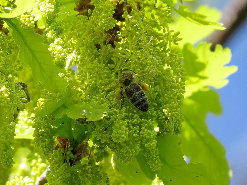 Пчела на цветках дуба летнего