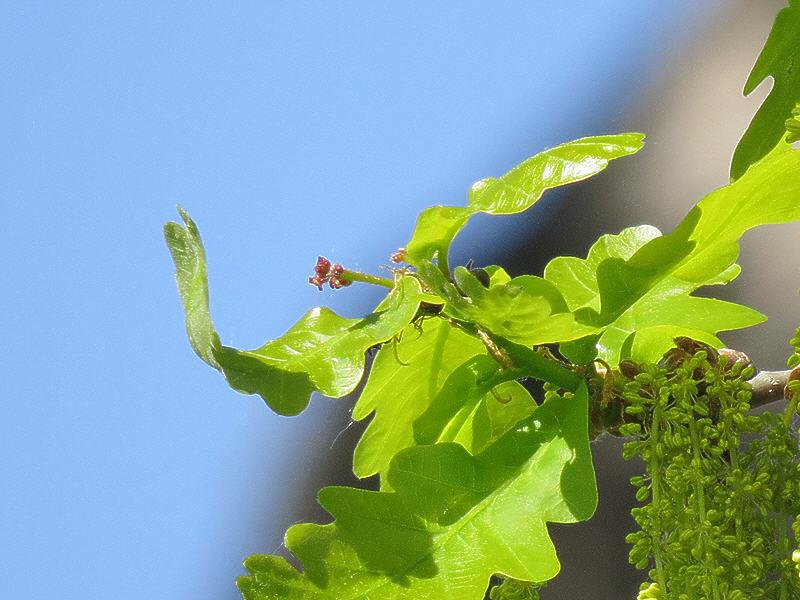 Женские цветки летнего дуба