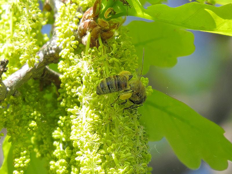 Пчела на мужских соцветиях дуба