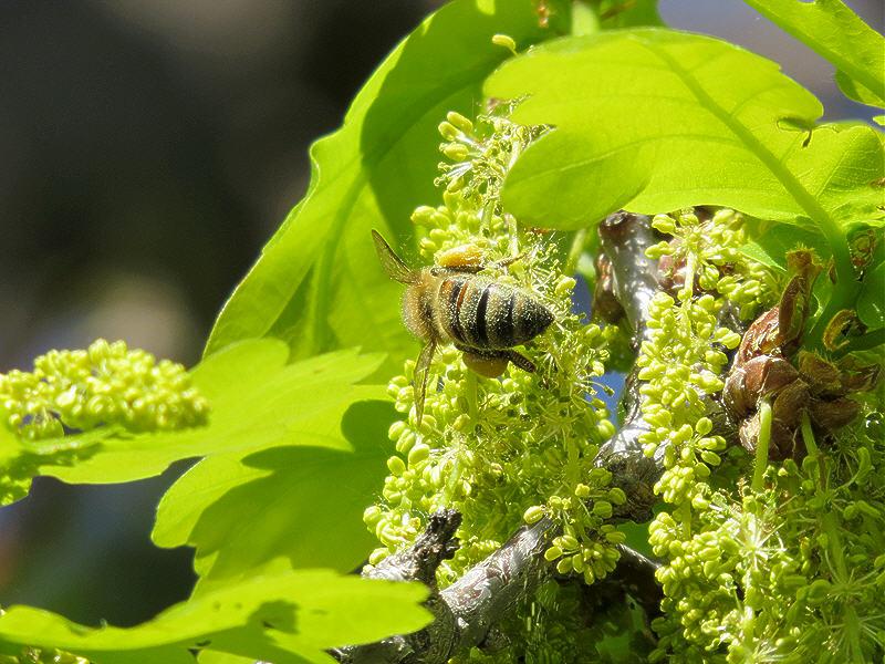 Сбор дубовой пыльцы
