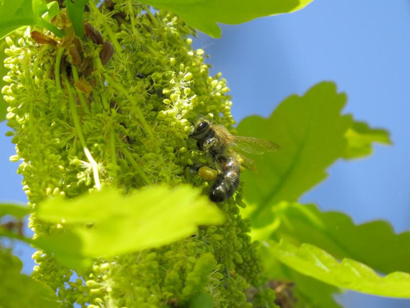 За сбором дубовой пыльцы