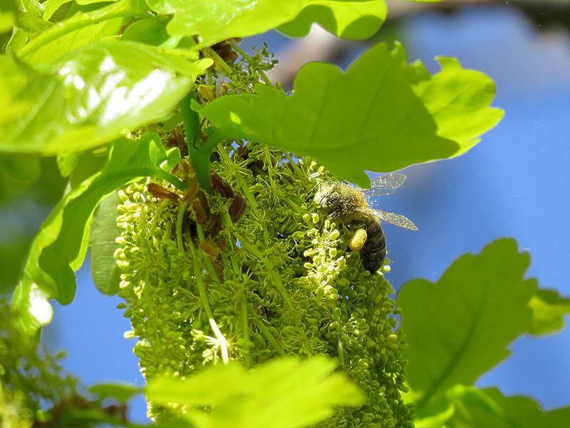 Пчела в зелёной дубовой пыльце