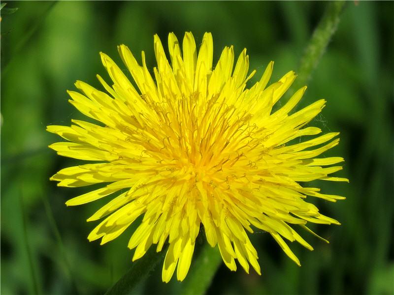 Цветок одуванчика - вид сверху