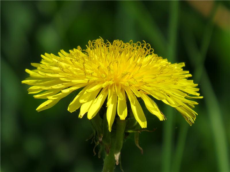 Цветок одуванчика - вид сбоку