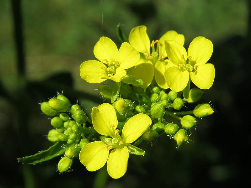 Цветки свербиги восточной