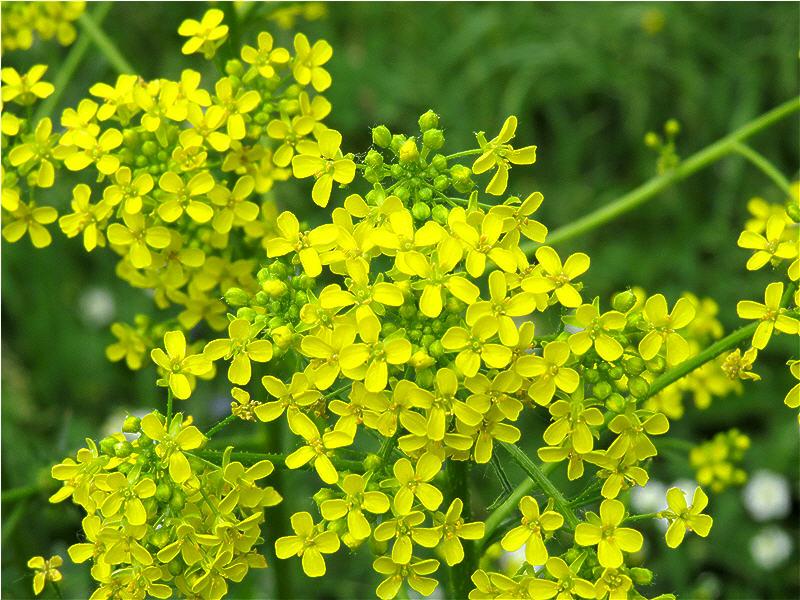 Яркие цветки свербиги восточной