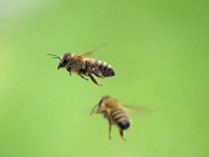 Полёт пчелы