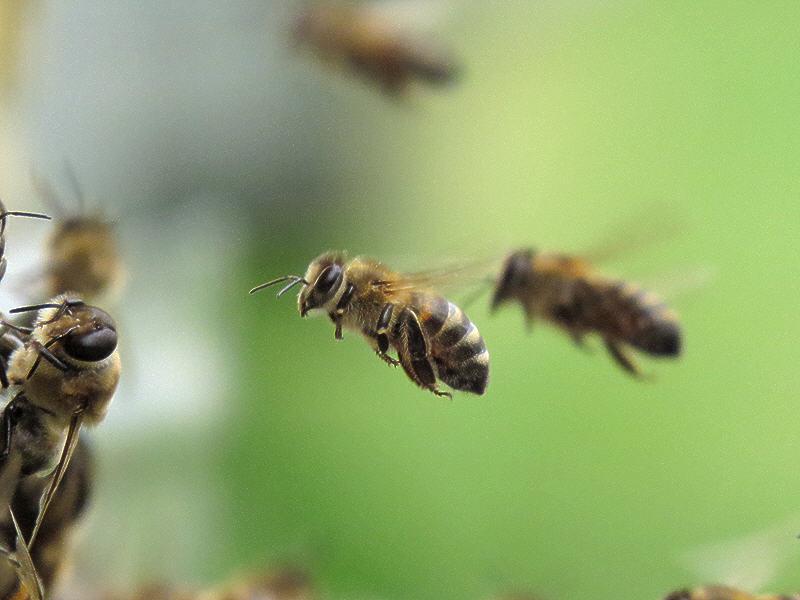 Подлёт пчелы к улью