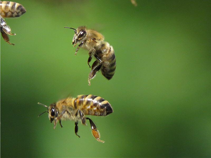 Непонятные телодвижения пчёл на лету