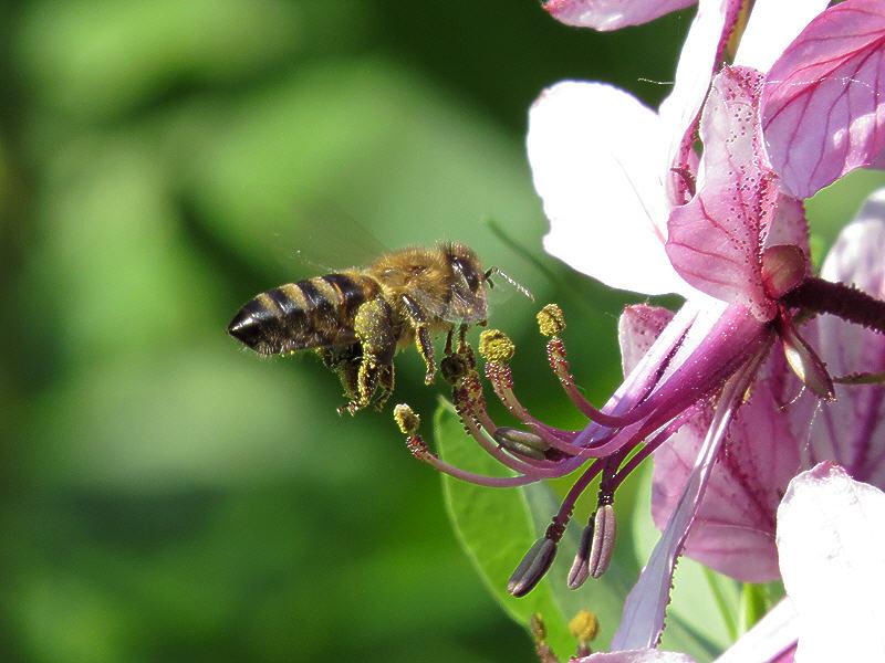 Пчела и неизвестный цветок