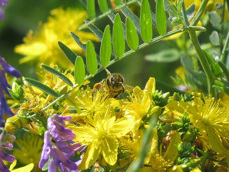 Найди пчелу