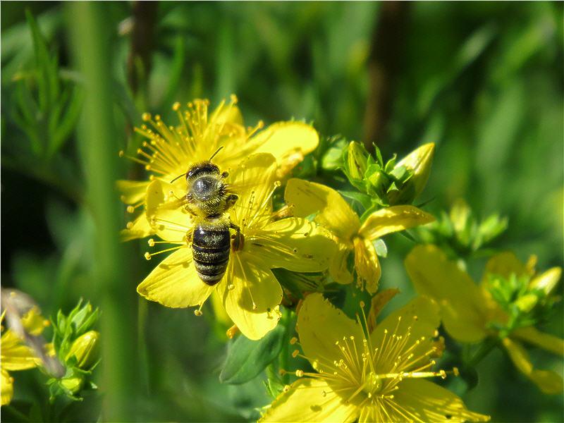 Пчела на цветке зверобоя