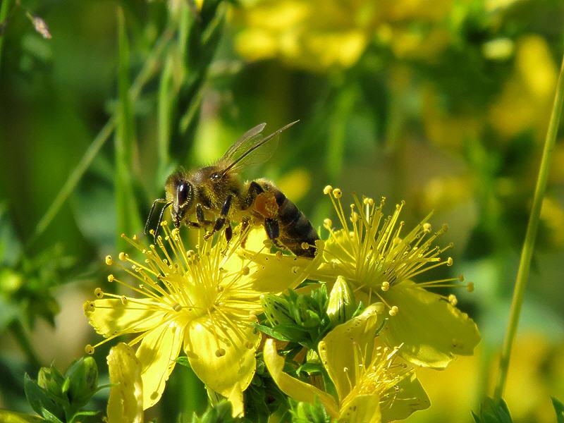 Пчела на цветке зверобоя продырявленного