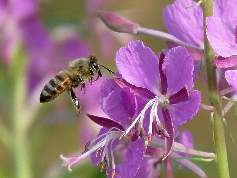 Подлёт пчелы к цветку иван-чая