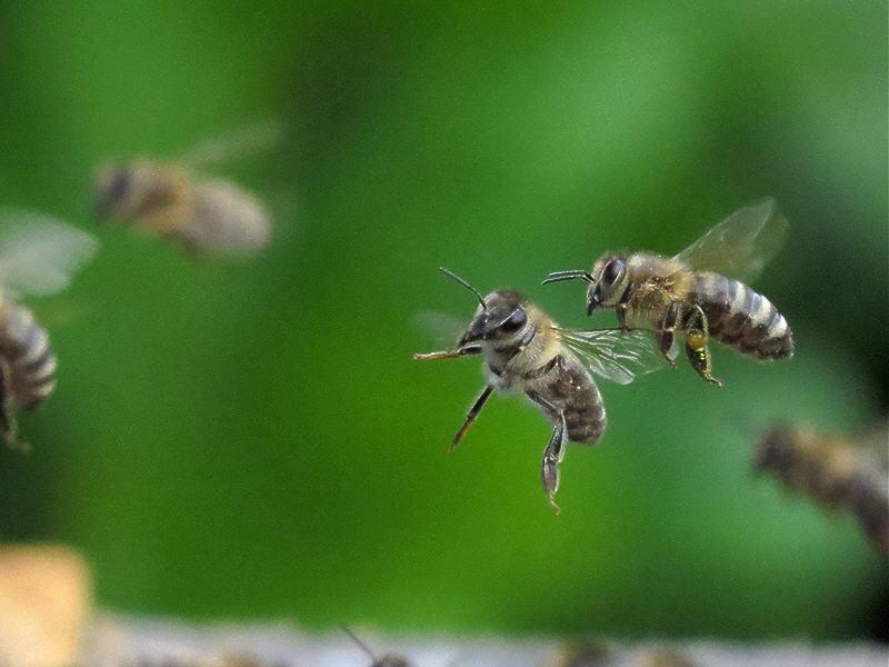 Пчёлы около летка