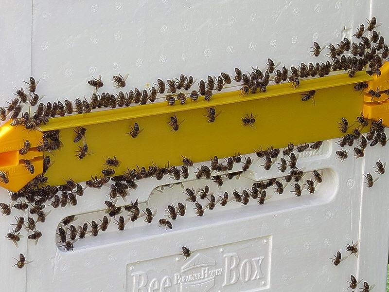 Странное поведение пчёл