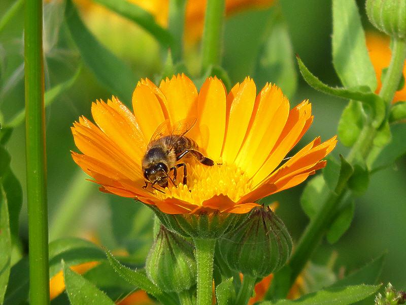 Пчела на цветке календулы лекарственной