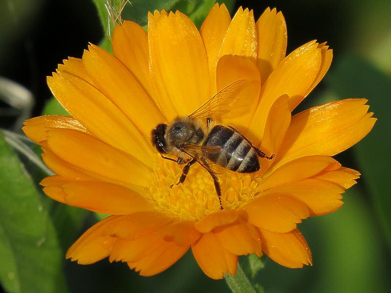 Цветок календулы с пчелой