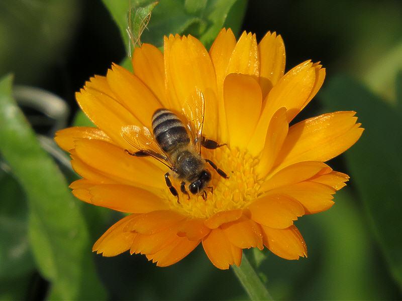 Вот как пчела собирает нектар