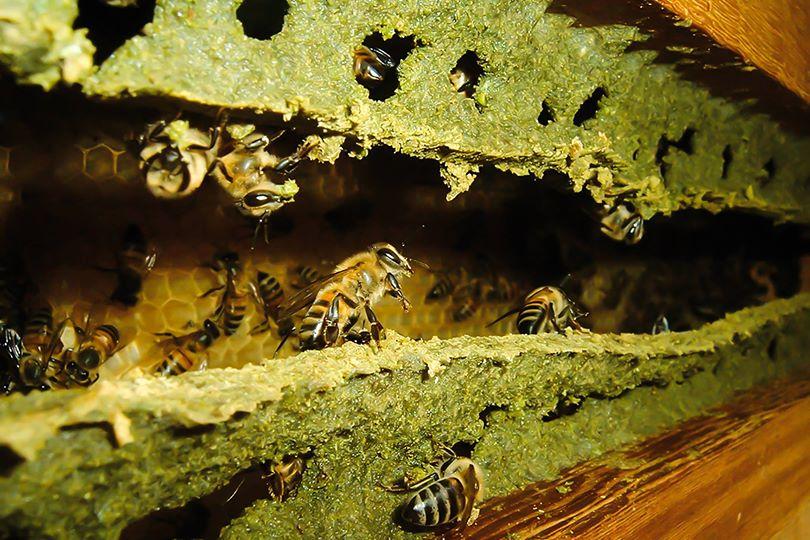 Пчёлы делают зелёный прополис
