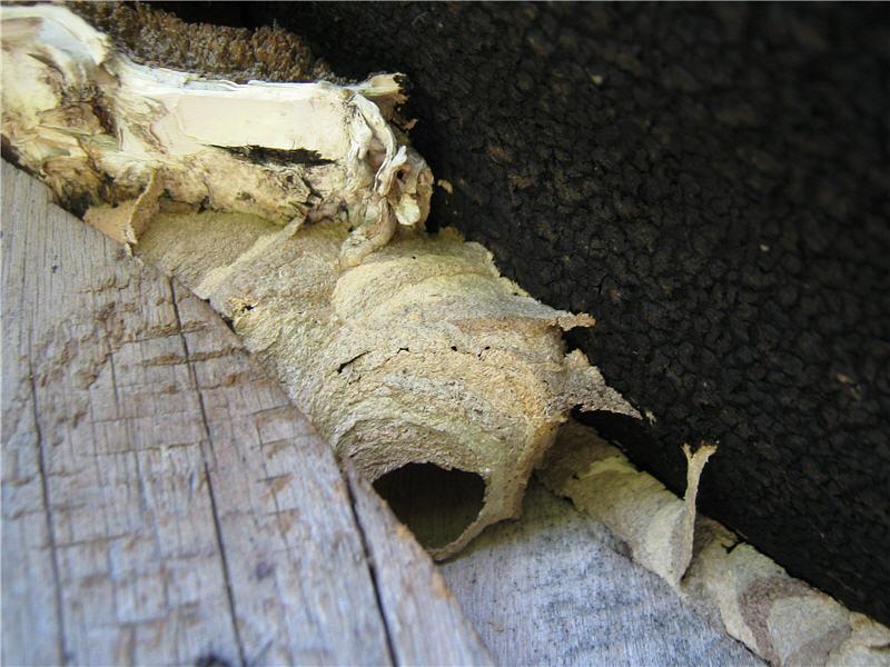 Вход в гнездо шершней