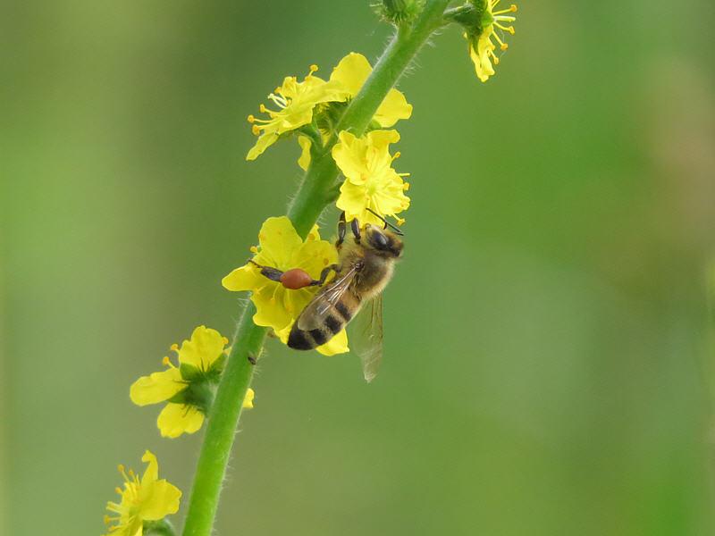 Пчела на цветках репешка аптечного