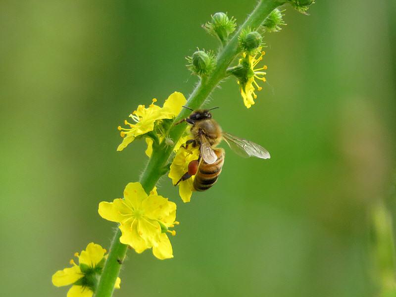Репейничек обыкновенный и пчела