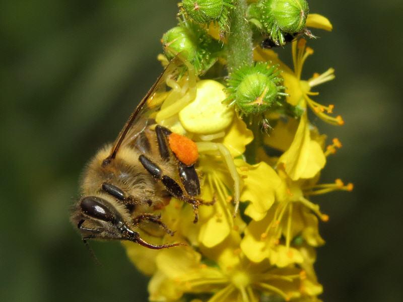 Пчела в пасти цветочного паука