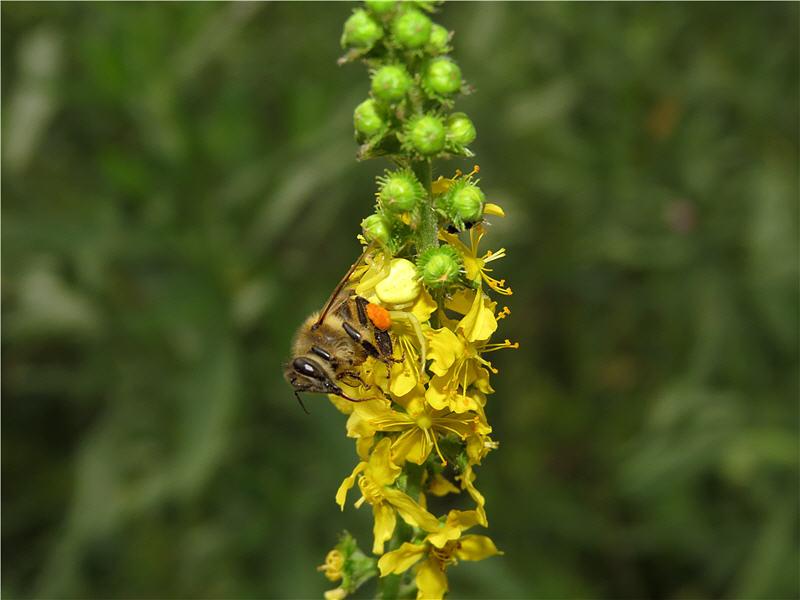 Медоносная пчела и паук-бокоход
