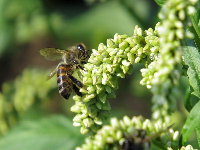 Пчела на цветках горца почечуйного