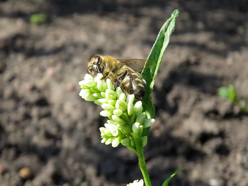 Цветки меньше пчелы