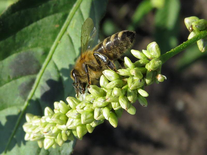 Горец почечуйный и медоносная пчела