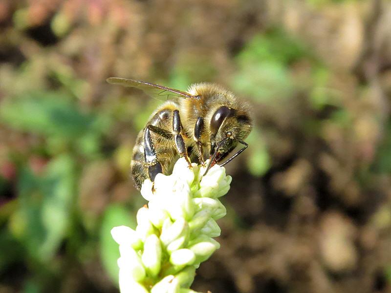 Отдельный цветок меньше головы пчелы