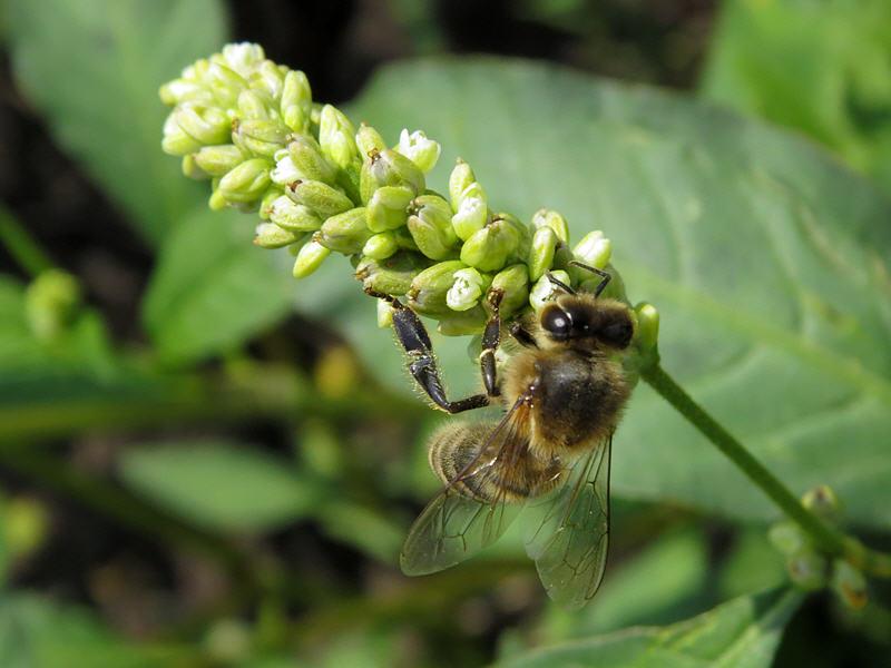 Почечуйная трава и пчела