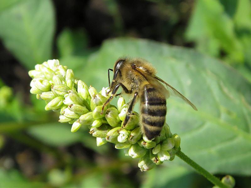 Фото почечуйной травы и пчелы