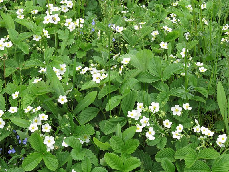 Цветки земляники зелёной фото