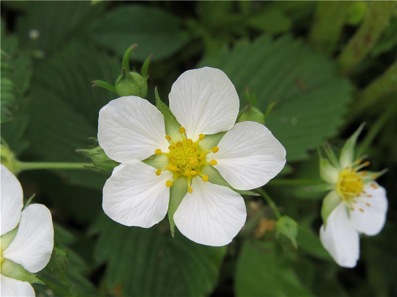 Цветок земляники зелёной
