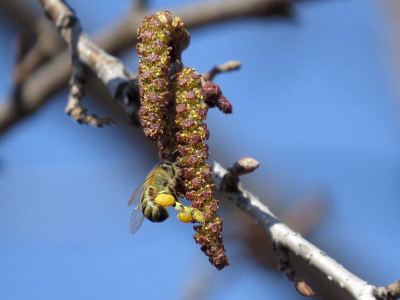 Пчела работает на мужских цветках ольхи