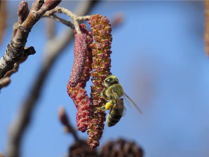 Пчела на соцветиях ольхи чёрной