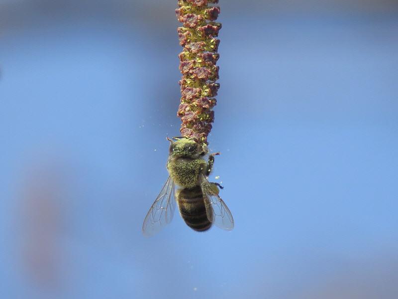 Пчела вся в пыльце