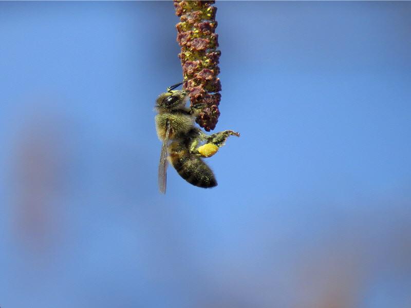 Пчела на серёжке ольхи чёрной