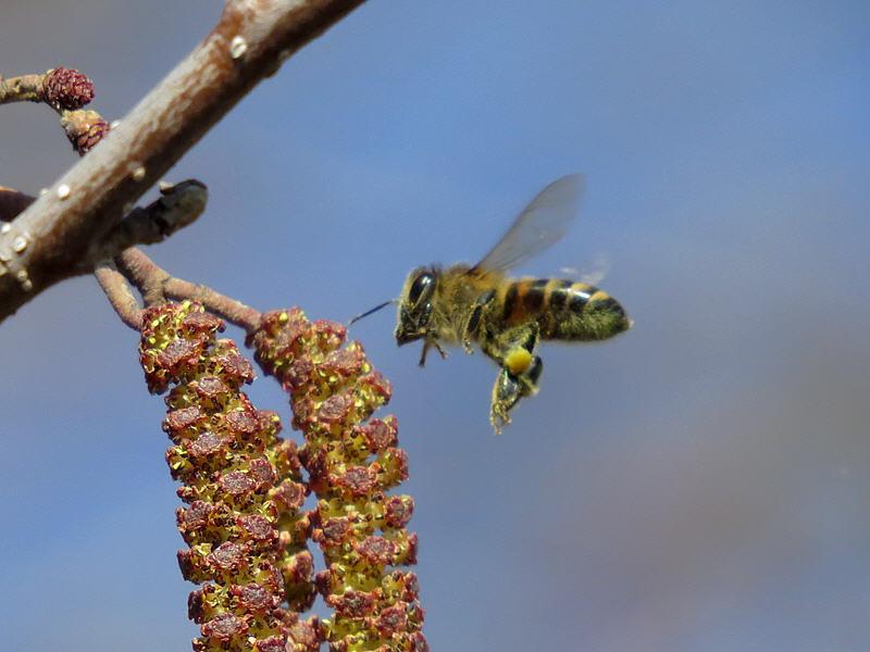 Пчела ножками формирует обножку