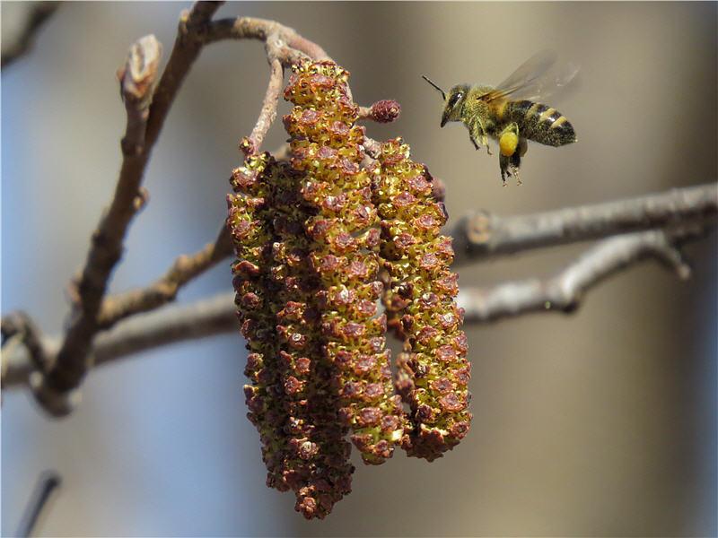 Пчёлы на цветках ольхи чёрной