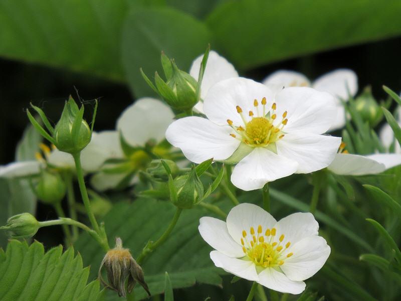 Цветки земляники зелёной